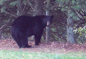 Bear in the Back Yard