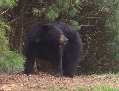 Haw Creek Black Bear - Asheville NC